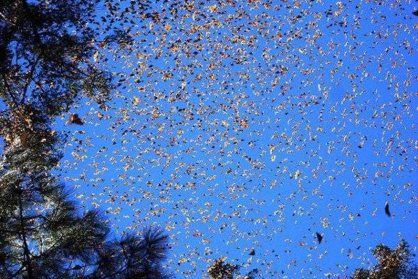 Bướm nhỏ bắt đầu di chuyển từ những nơi như Toronto, Winnipeg hoặc Detroit. Và đến nay vẫn chưa lý giải được bằng cách nào mà hàng triệu con bướm có thể cùng tụ hợp lại ở Mexico.