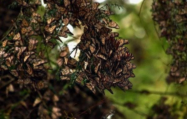 Các loài bướm đến tụ lại ở Michoacan vào cuối tháng 10 để làm tổ trong mùa đông trên những cây cao ở vùng núi của khu bảo tồn thiên nhiên. Tại đây, chúng quây quần với nhau thành từng nhóm lớn như những tổ ong đầy màu sắc.