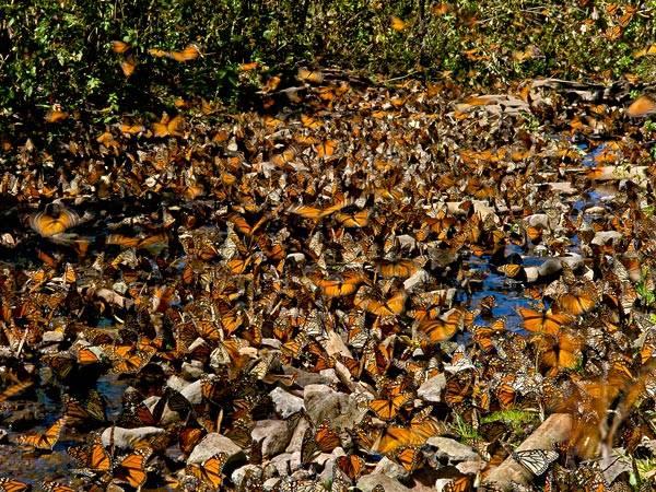 Tuy nhiên điều đó không giúp bảo vệ được kỳ quan thiên nhiên huyền diệu này. Một tháng trước, công ty khai thác mỏ lớn nhất ở Mexico đã có ý định khai thác đồng, bạc, vàng... ở quanh rứng núi Michoacan. Các chuyên gia cho rằng nếu đây là sự thật thì có khả năng những năm tới, kỳ quan này sẽ biến mất trước sự xâm chiếm của con người.