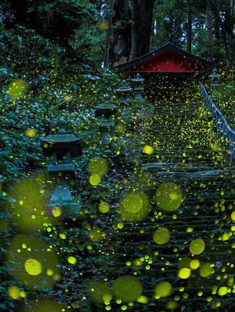 Đầu các buổi tối mùa hè là thời điểm lý tưởng để nhiều nhiếp ảnh gia chuẩn bị săn tìm các khoảnh khắc đẹp lung linh về loài đom đóm.