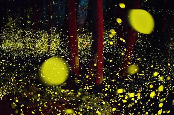 """Trong tiếng Nhật từ """"hotaru-gari"""" có nghĩa là """"bắt đom đóm"""". Tuy nhiên, nó không có nghĩa đen là bắt chúng mà đơn giản là tận hưởng màn trình diễn ánh sáng của đom đóm trong đêm tối."""