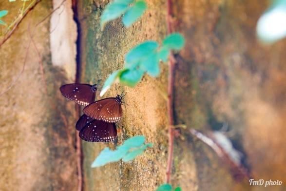 Dân gian gọi đây là bướm ma với cánh màu nâu đen và những chấm trắng đặc trưng.