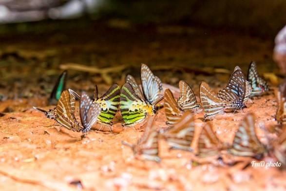 Đàn bướm có nhiều hoa văn, sắc màu trên cánh. Bạn có thể thoải mái săn ảnh bướm nhưng chú ý các bụi rậm, hốc đá, đề phòng rắn, vắt. Với thời tiết hiện nay, bạn nên mang nhiều nước, áo mưa và đồ dùng chống nước cho balo