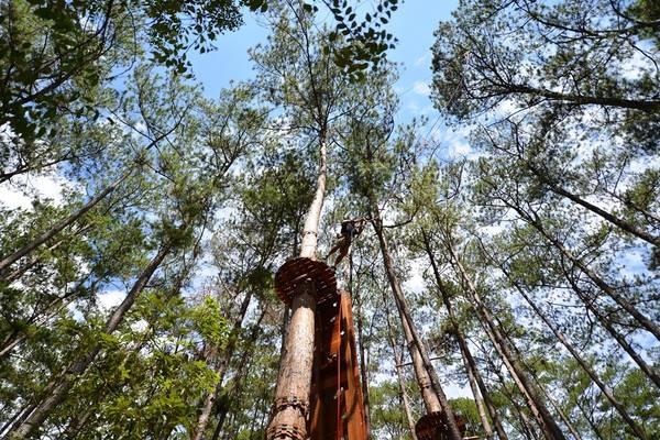 Những cây thông to khỏe nhất của khu rừng này được các chuyên gia Pháp chọn lựa, đo sức chịu đựng trước khi gắn lên thân cây những sợi dây cáp có khả năng chịu lực đến 2 tấn và nhiều thiết bị hỗ trợ an toàn khác.