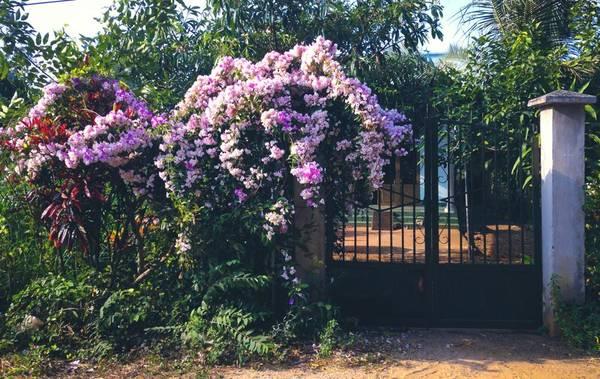 Trên đường vào Tứ Phương Thất Đảo, nếu để ý hai bên đường sẽ thấy nhiều nhà trồng loại hoa dây leo rất đẹp như thế này quanh khu vực Long Phước, rất thích hợp cho những bạn ưa chụp hình hoa dại vệ đường.