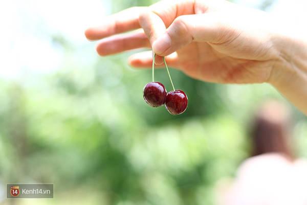 Đây chính là những quả cherry hảo hạng nhất đến từ vùng Yamagata này.