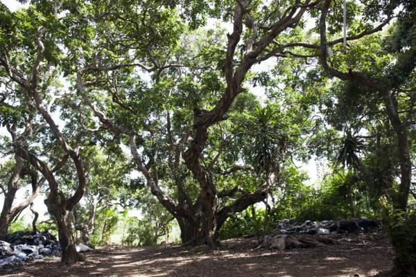 Dưới bóng cây nhãn cổ thụ trăm tuổi - Ảnh: BÍCH HUỲNH