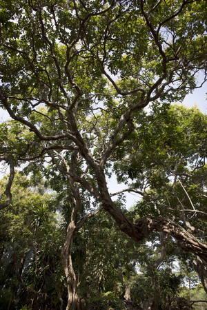 Những tán cây xanh tốt của vườn nhãn cổ thụ - Ảnh: BÍCH HUỲNH