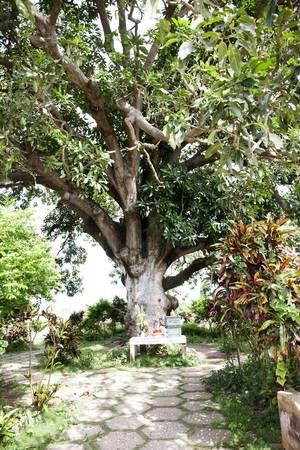 """Ngoài những cây nhãn cổ, còn có một """"cụ"""" xoài lão xanh tốt trên 300 năm tuổi được công nhận là cây di sản - Ảnh: BÍCH HUỲNH"""