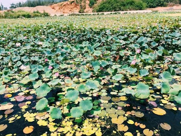 Những đầm sen dọc theo con đường vào An Sơn Miếu, nơi thờ bà Phi Yến, thứ phi của chúa Nguyễn Ánh.