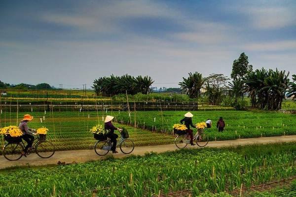 Người nông dân thu hoạch hoa tại làng hoa Ninh Phúc. Ảnh: Quang Đức.