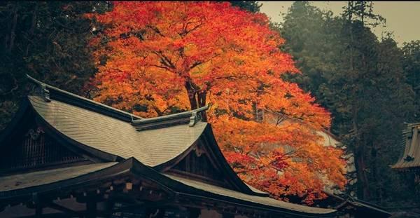 Nét đặc trưng nhất của mùa thu Nhật Bản là những cây lá phong 3 màu, tạo ra một màu sắc đậm chất thu.
