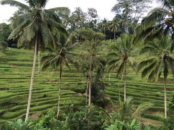 Ngồi uống café ngắm ruộng lúa xanh mơn mởn ở ruộng bậc thang Tegalalang là tuyệt nhất.
