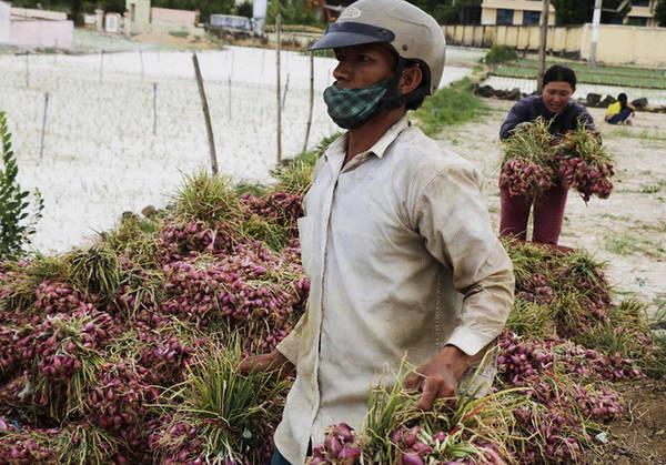 """Loại nông sản được ví như """"ngọc tím"""" bởi chúng giúp người dân có được khoảng thu nhập không nhỏ."""