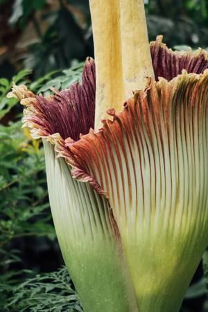 Đây là một trong những loài hoa lớn nhất thế giới.