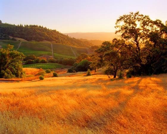 Cánh đồng cỏ dại ngả màu vàng úa tại Sonoma, California, Mỹ.
