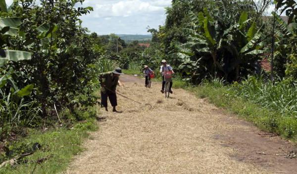 Trên các con đường thôn, rơm được rải phơi trong nắng - Ảnh: Trung Oanh