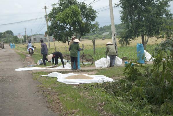 Lúa sau khi phơi được gom lại chờ vào bao - Ảnh: Trung Oanh