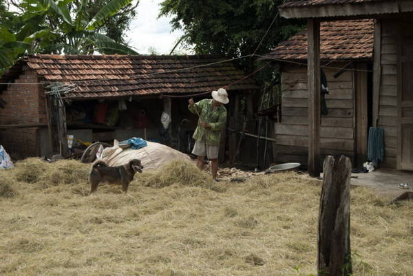 Tại vùng cao Tây nguyên, rơm tươi là thực phẩm cho gia súc trong những ngày mưa - Ảnh: Trung Oanh
