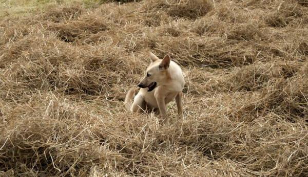 Ngay cả chú chó nầy cũng vui thích với rơm - Ảnh: Trung Oanh
