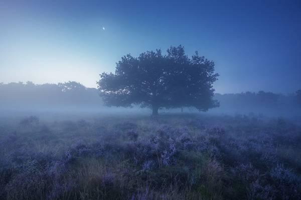 Cây cổ thụ nằm giữa những cánh đồng hoa thạch nam, tạo nên bức tranh thiên nhiên tuyệt đẹp.