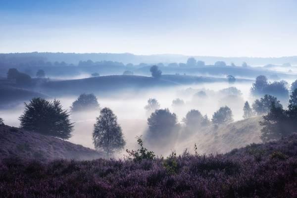 Những cánh đồng hoa màu tím tạo nên khung cảnh như trong mơ vào sáng sớm.