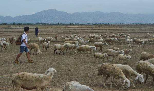 Ngoài nắng, gió, sa mạc cát, xương rồng thì khi đến Phan Rang bạn còn có cơ hội nhìn tận mắt nhìn thấy những cánh đồng cừu đẹp miên man. Những đàn cừu thường được chăn thả trên đồng, đường làng, đường quốc lộ, khu vực triền núi, những trang trại rộng lớn… Thế nhưng chỉ có khu vực đồng cừu An Hòa thuộc thôn An Hòa, xã Xuân Hải, huyện Ninh Hải, mới có số lượng cừu lớn và khung cảnh nơi đây cũng đẹp nhất.