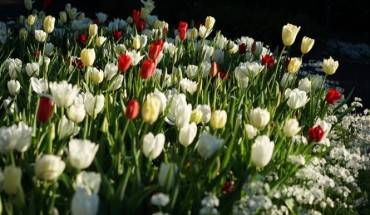 mua-hoa-tulip-o-xu-so-chuot-tui-ivivu-5