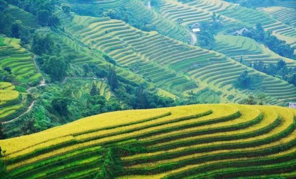 Theo những người có kinh nghiệm, thời điểm đi ngắm lúa ở Hoàng Su Phì năm nay bắt đầu từ bây giờ cho tới khoảng một tháng nữa - khi lúa chín hết - là kết thúc. Ảnh: Nguyễn Hiền.