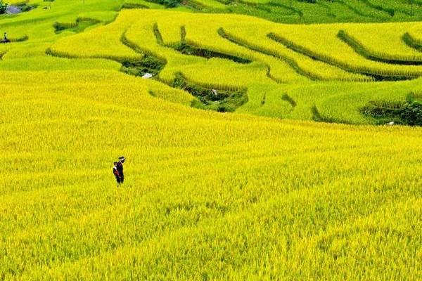 Đổi lại, bạn sẽ được chiêm ngưỡng cảnh sắc tuyệt đẹp của những thửa ruộng bậc thang đang vào mùa lúa chín vàng rực rỡ trải trên một diện tích rộng lớn. Ảnh: Vũ Chi.