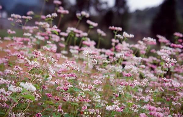 Sắc hồng tím của hoa tam giác mạch ở Đồng Văn, Hà Giang.