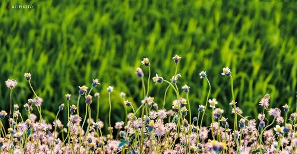 Khóm hoa dại mọc ven ruộng lúa ở Bà Rịa - Vũng Tàu. Màu tím phớt của hoa càng rực rỡ trên tông nền xanh lúa non.