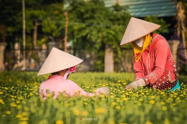 Làng hoa huyện Tân Thành, Bà Rịa - Vũng Tàu vào mùa thu hoạch hoa cúc.