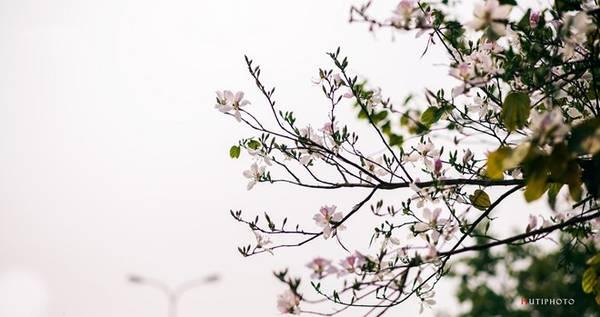 Hoa ban trong sương sớm ở Điện Biên.