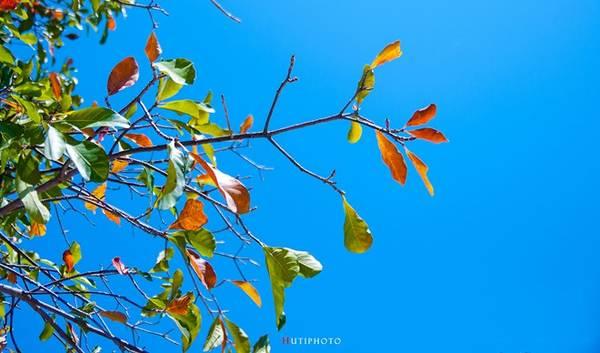 Những tán lá bàng chuyển dần sang sắc đỏ báo hiệu mùa thu đang về.