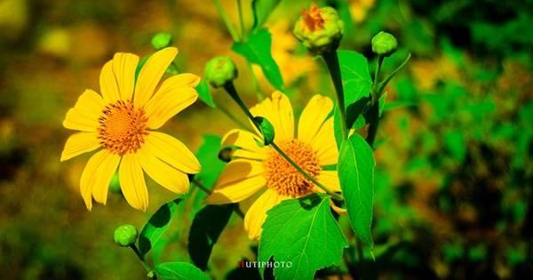 Tháng 10, các con dốc của Đà Lạt phủ đầy sắc vàng hoa dã quỳ.