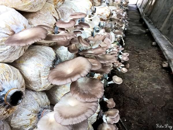 Tìm hiểu về quy trình nuôi trồng nấm bào ngư xám. Ảnh: Tiểu Duy