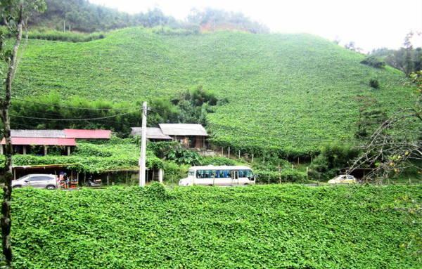 Những giàn su su ở Sa Pa như những tấm thảm xanh khổng lồ - Ảnh: N.T.LƯỢNG