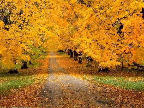 Những con đường êm ái trải đầy lá phong