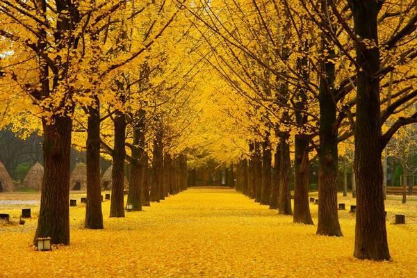 """Những hàng cây ngân hạnh cổ thụ chạy dài thẳng tắp, đã xuất hiện trong bộ phim truyền hình Hàn Quốc """"Bản tình ca mùa đông"""", làm đảo Nami trở nên nổi tiếng khắp châu Á."""