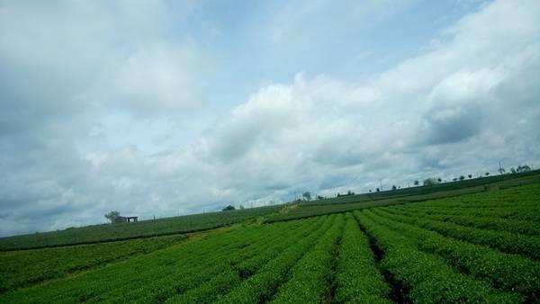 Đồi chè Bảo Lộc: Được mệnh danh là thành phố chè, Bảo Lộc có diện tích trồng chè lớn nhất tỉnh Lâm Đồng. Bạn sẽ bị cuốn hút bởi những màu xanh của đồi chè mênh mông, bát ngát, và hương thơm của lá chè. Ảnh: Kenny Nguyễn.