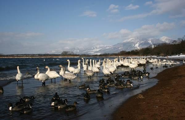 Đàn thiên nga bên hồ Inawashiro - hồ nước ngọt lớn thứ tư của Nhật Bản.