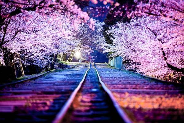 Con đường ngập hoa anh đào đẹp như một bức tranh.