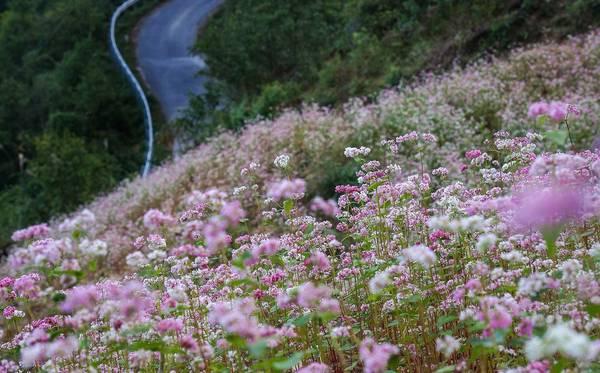 Hoa tam giác mạch đẹp đến nao lòng. Ảnh: Lê Thanh Sơn/flickr.com