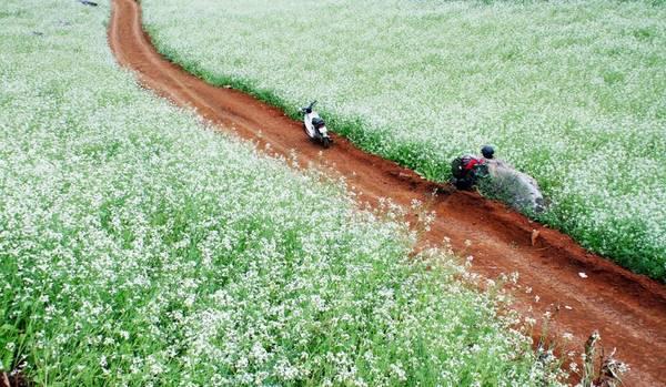 Con đường hoa cải rực rỡ khoe sắc. Ảnh: vnexpress.net
