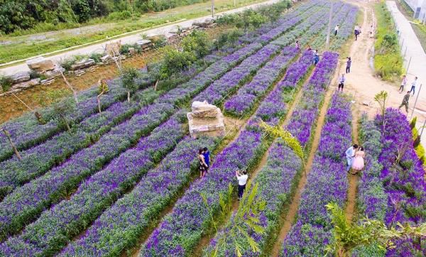 Thải Giàng Phố là xã thuộc huyện vùng cao Bắc Hà, Lào Cai. Theo chia sẻ của chủ vườn, loài hoa được trồng ở đây là oải hương, một trong 29 giống lavender, được chuyển giao công nghệ trồng từ học viện nông nghiệp ở Bắc Kinh.