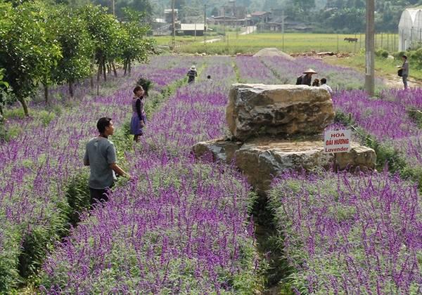 Hoa được trồng từ tháng 7 và bắt đầu ra hoa từ tháng 9.