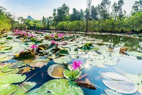 Theo nhiều người săn ảnh, năm nay hoa súng ở chùa Hương không còn đẹp như các năm trước, có thể do yếu tố thời tiết. Tuy nhiên, khu vực gần cầu Hội, hoa vẫn rất đẹp và đang vào độ nở rộ. Ảnh: Nguyễn Hoài