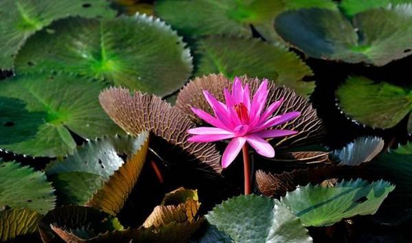 """Khác với vẻ tấp nập """"vui như trảy hội"""" vào mùa xuân, mùa thu ở chùa Hương tĩnh lặng, thanh bình để đón những du khách tới đây thưởng ngoạn vẻ đẹp của những bông hoa súng hồng rực, đẹp nao lòng. Ảnh: Lê Tuấn"""