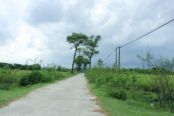 Con đường thơ mộng, hai hàng thông và hai bên là hai cánh đồng rễ - Ảnh: Phương Huệ